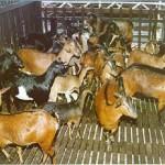 Baka-baka kambing di Malaysia