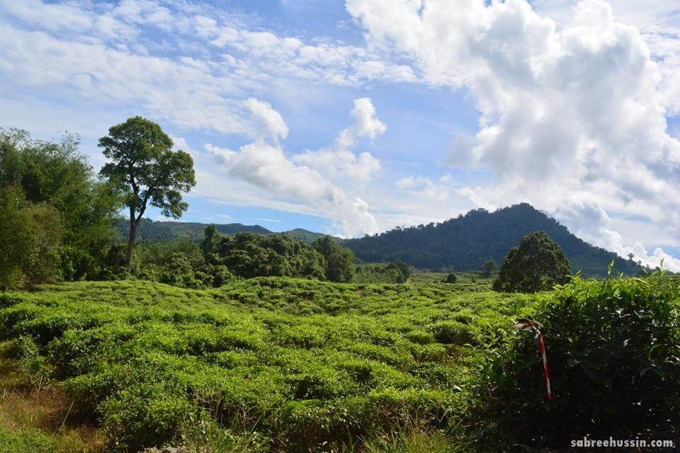 percutian-ke-sabah-tea-plantation